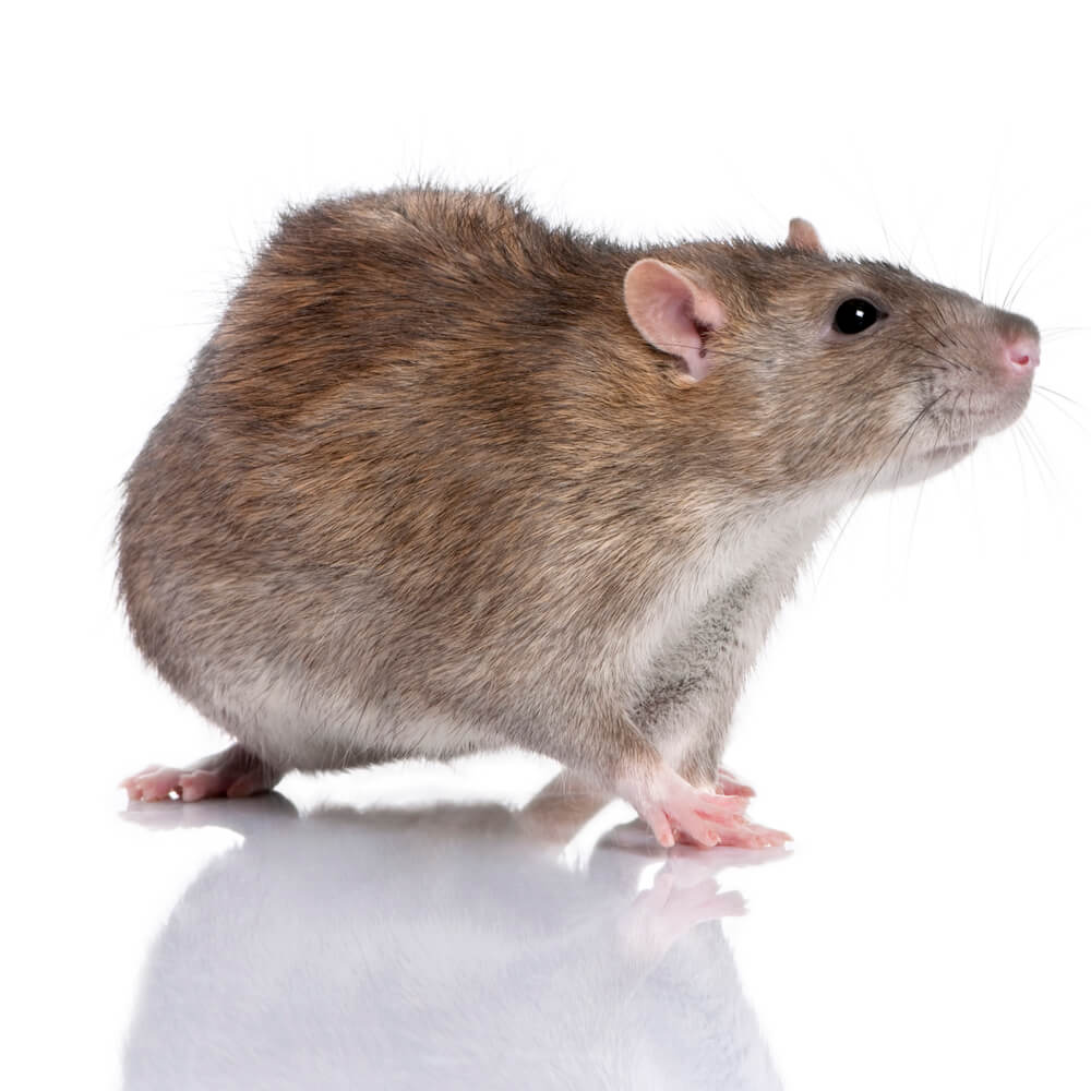 rat mice control mcdowall