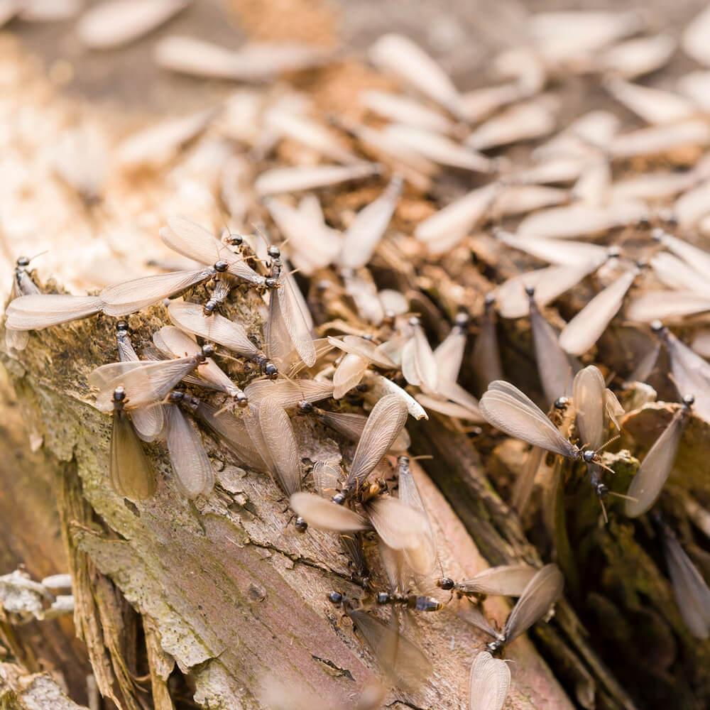 termites pest control mcdowall